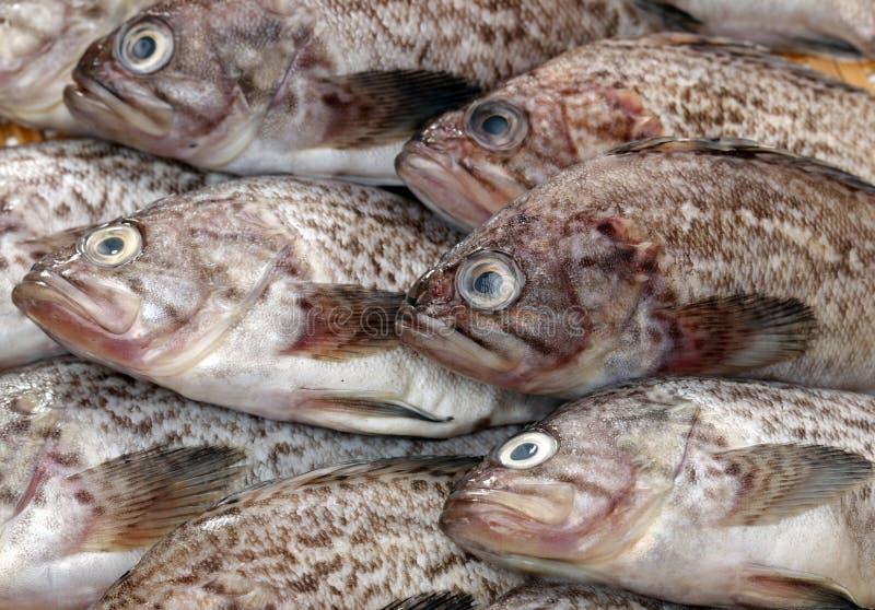 Φρέσκο grouper στοκ φωτογραφίες με δικαίωμα ελεύθερης χρήσης
