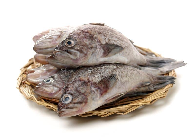 Φρέσκο grouper στοκ εικόνες