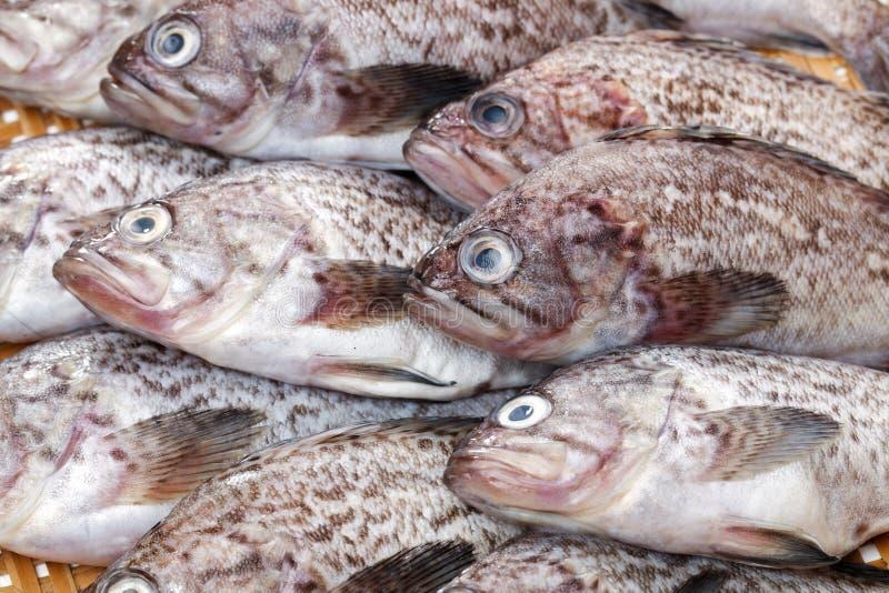 Φρέσκο grouper στοκ εικόνα με δικαίωμα ελεύθερης χρήσης