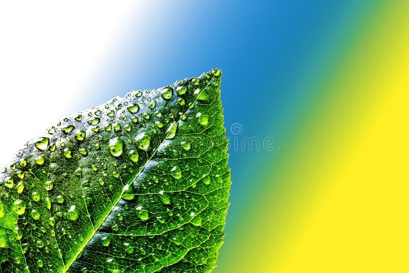 Φρέσκο juicy πράσινο φύλλο τσαγιού στις πτώσεις νερού στο αφηρημένο υπόβαθρο χρώματος του λευκού, μπλε και κίτρινος Πράσινο φύλλο στοκ φωτογραφία με δικαίωμα ελεύθερης χρήσης