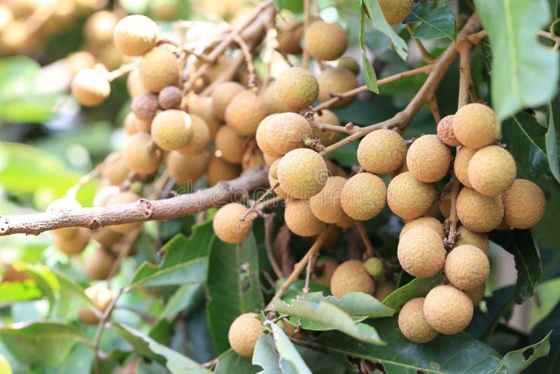 Φρέσκο Longan στο δέντρο στον κήπο φρούτων στοκ εικόνα