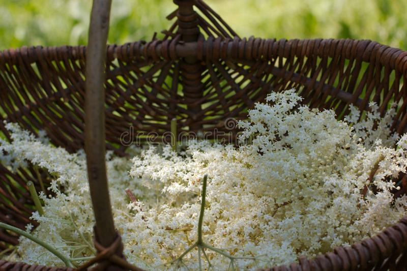 Φρέσκο nigra sambucus, μαύρα παλαιότερα λουλούδια σε ένα παλαιό ξύλινο καλάθι στοκ φωτογραφία με δικαίωμα ελεύθερης χρήσης
