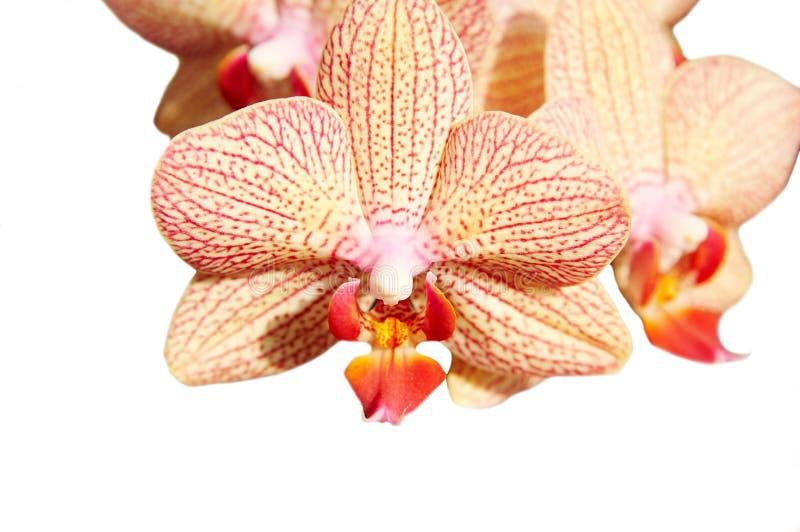 φρέσκο orchid λουλουδιών στοκ εικόνες