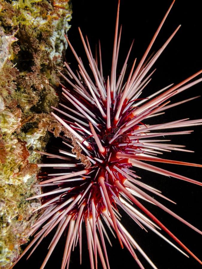 Φραγκισκάνιος της Κόκκινης Θάλασσας στοκ φωτογραφία με δικαίωμα ελεύθερης χρήσης