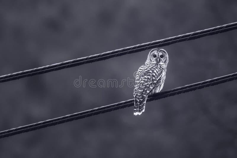 φραγμένος χειμώνας κουκουβαγιών Μινεσότας βόρειος στοκ εικόνες με δικαίωμα ελεύθερης χρήσης