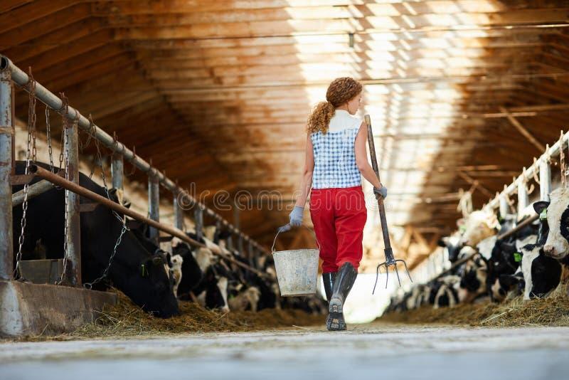Φροντίδα των αγελάδων στοκ εικόνα με δικαίωμα ελεύθερης χρήσης