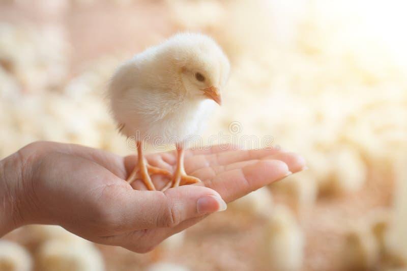 Φροντίδα για ένα μικρό κοτόπουλο στοκ φωτογραφία με δικαίωμα ελεύθερης χρήσης