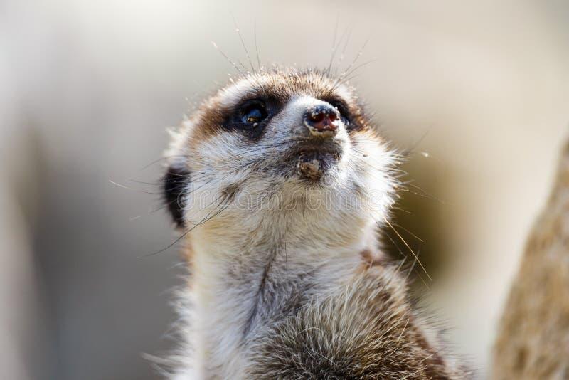 φρουρά meerkat στοκ φωτογραφίες