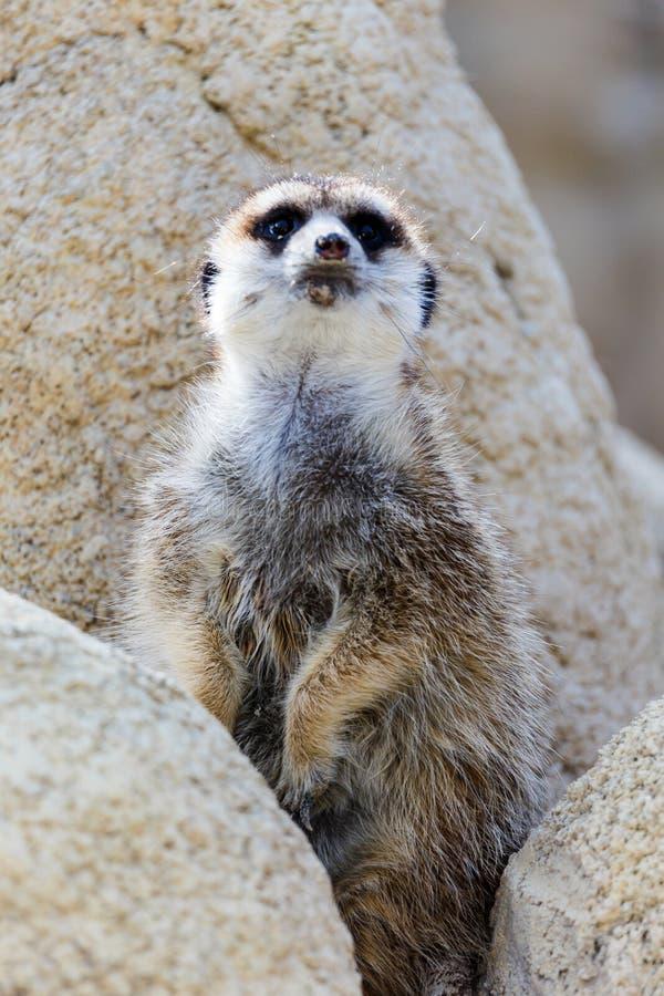 φρουρά meerkat στοκ εικόνα με δικαίωμα ελεύθερης χρήσης