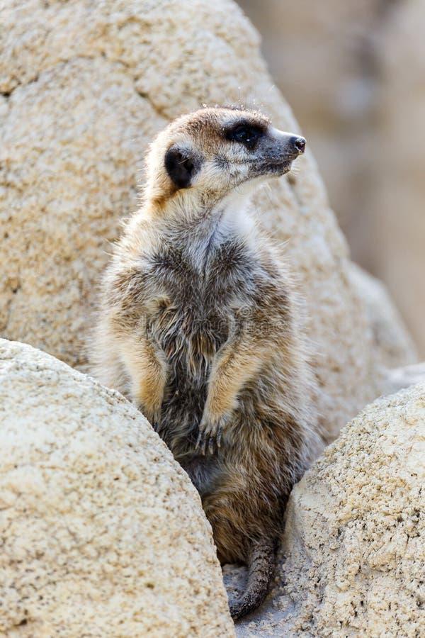 φρουρά meerkat στοκ φωτογραφίες με δικαίωμα ελεύθερης χρήσης