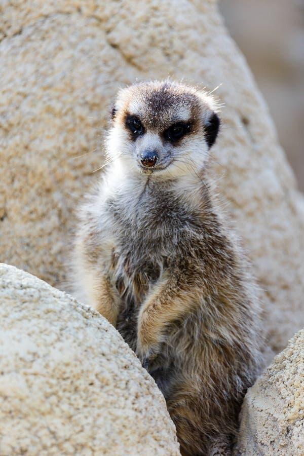 φρουρά meerkat στοκ εικόνες