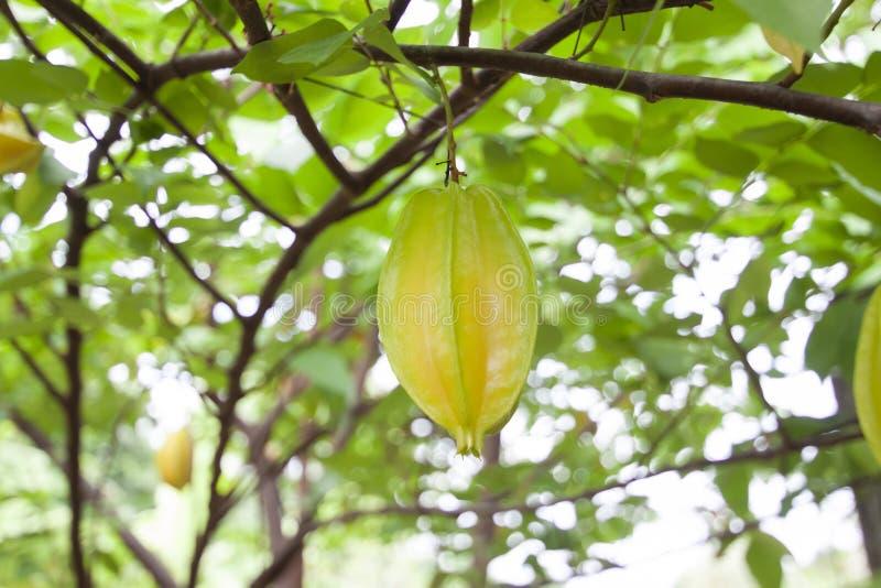 Φρούτα ή Carambola της Apple αστεριών στο δέντρο στον κήπο στοκ φωτογραφίες