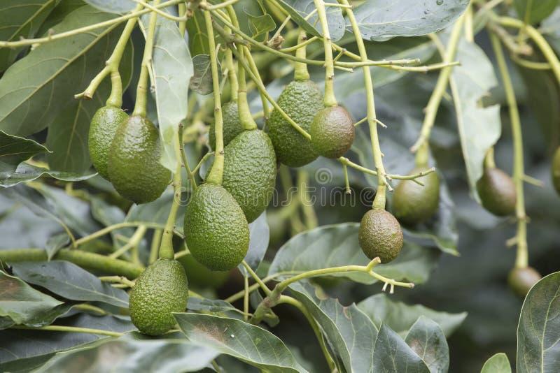 Φρούτα αβοκάντο στο δέντρο έτοιμο για το αβοκάντο Hass συγκομιδών στοκ φωτογραφία