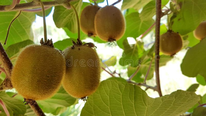 Φρούτα ακτινίδιων στα φύλλα δέντρων για το υπόβαθρο στοκ φωτογραφία με δικαίωμα ελεύθερης χρήσης