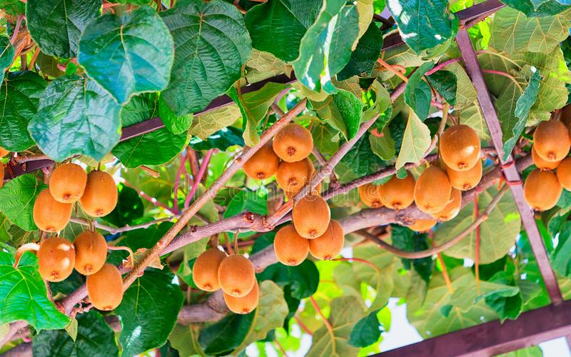Φρούτα ακτινίδιων στο δέντρο στον κήπο σε Agerola στοκ φωτογραφία με δικαίωμα ελεύθερης χρήσης
