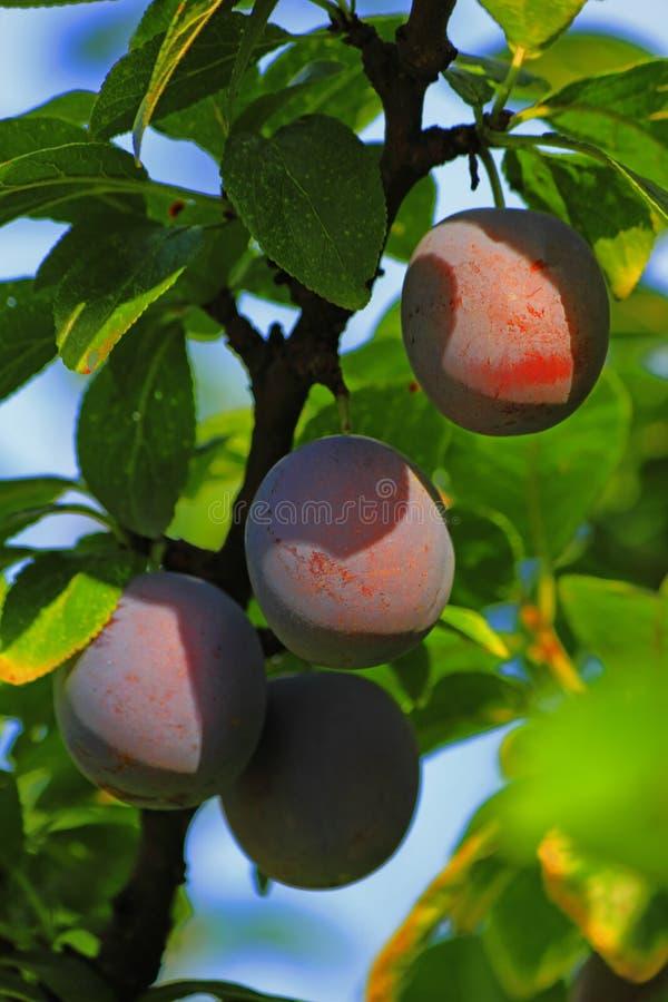 Φρούτα δαμάσκηνων σε ένα δέντρο στοκ φωτογραφία