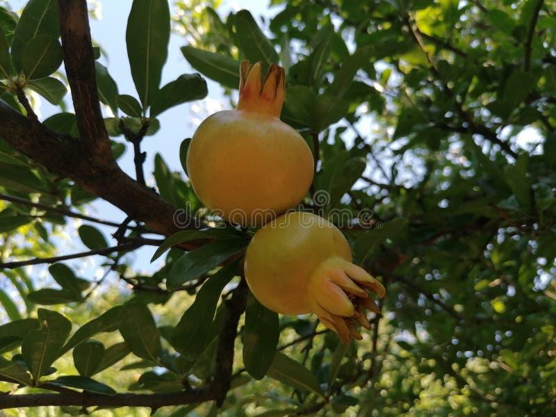 Φρούτα από την Ερζεγοβίνη στοκ εικόνες