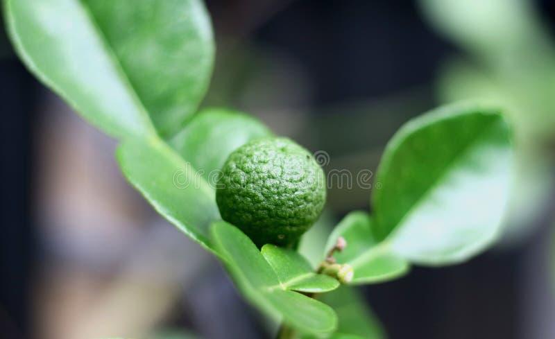 Φρούτα ασβέστη Kaffir στοκ εικόνες