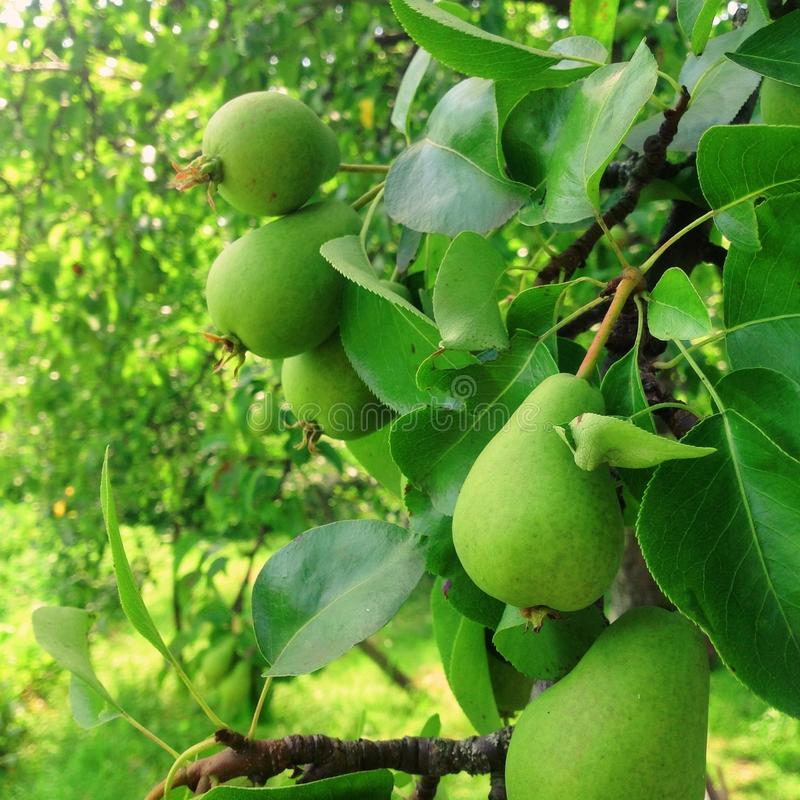 Φρούτα αχλαδιών στο δέντρο στοκ εικόνες