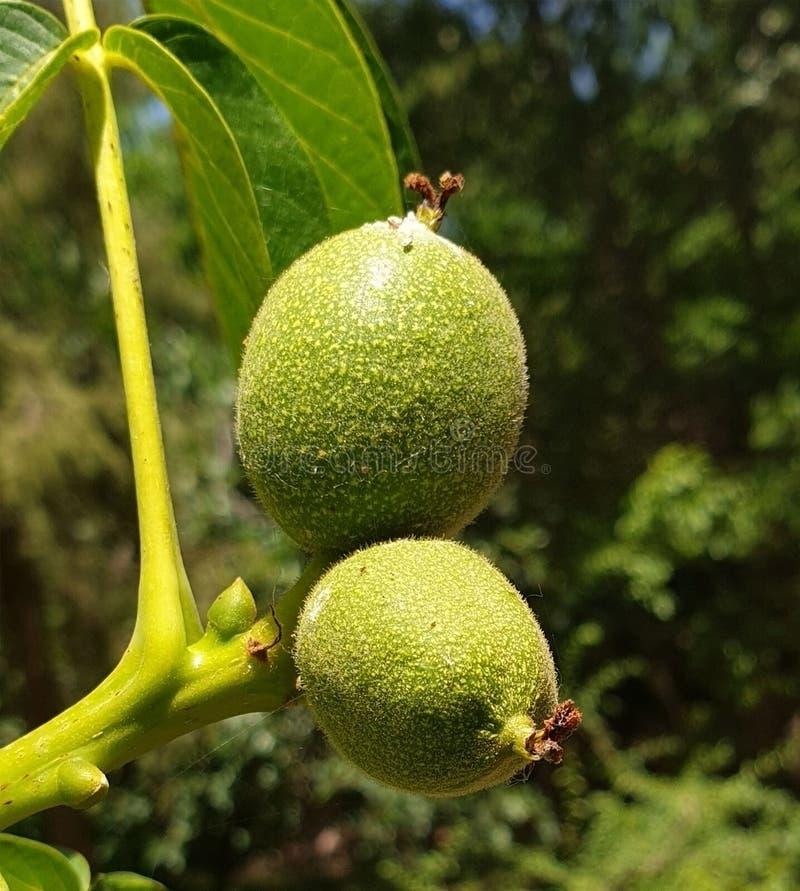 Φρούτα γρύλων στοκ φωτογραφία