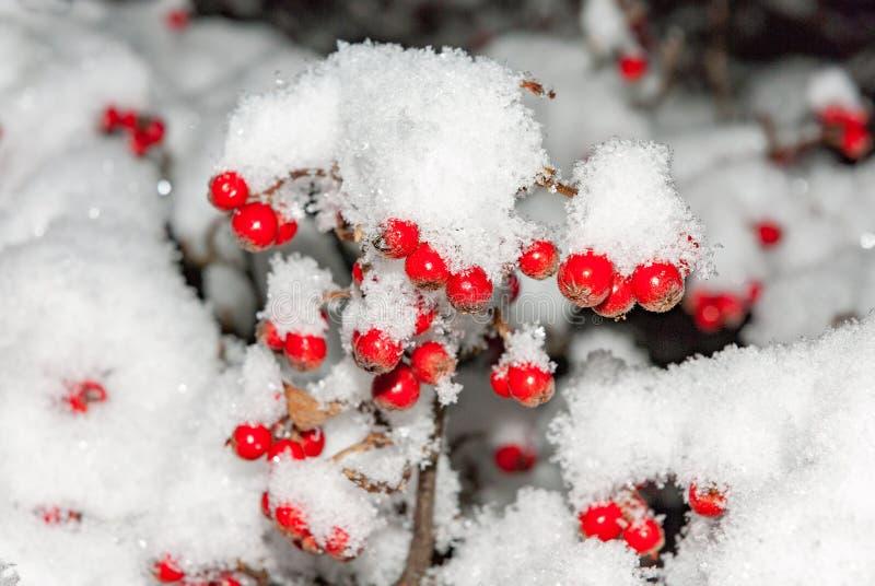 Φρούτα δέντρων του Rowan Aucuparia Sorbus κάτω από το χιόνι το χειμώνα στοκ φωτογραφίες