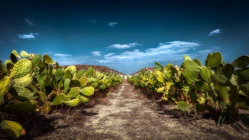 Φρούτα κάκτων τραχιών αχλαδιών στοκ εικόνα με δικαίωμα ελεύθερης χρήσης