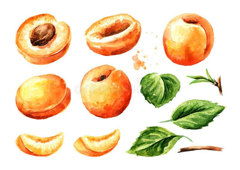 Φρούτα και φύλλα βερίκοκων συνόλου και περικοπών καθορισμένα Συρμένη χέρι απεικόνιση Watercolor, που απομονώνεται στο άσπρο υπόβα στοκ εικόνα με δικαίωμα ελεύθερης χρήσης