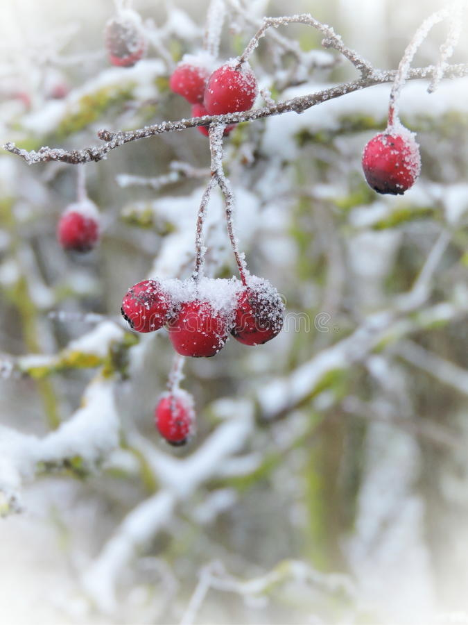 Φρούτα κραταίγου, Λιθουανία στοκ εικόνες με δικαίωμα ελεύθερης χρήσης