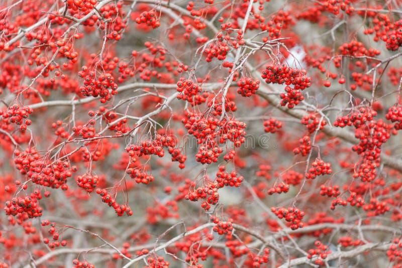 Φρούτα κραταίγου της Ουάσιγκτον στοκ φωτογραφίες