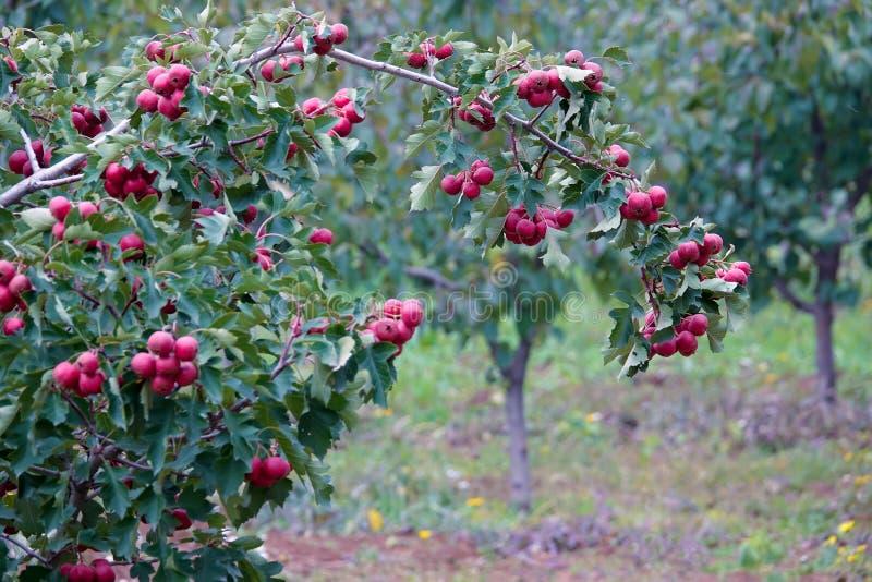Φρούτα κραταίγου στοκ εικόνες με δικαίωμα ελεύθερης χρήσης