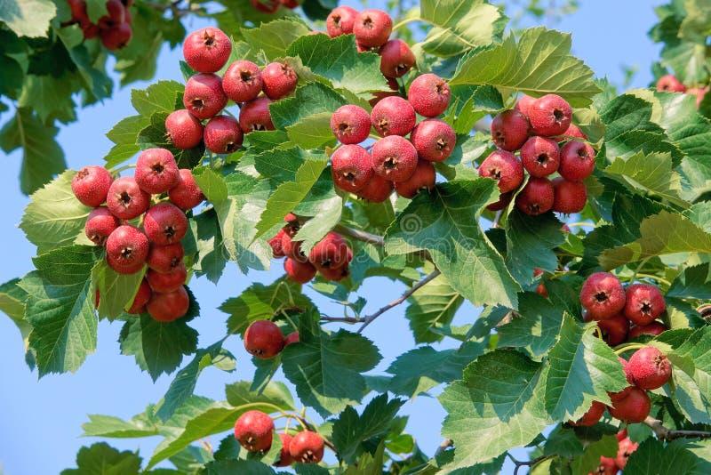 Φρούτα κραταίγου στοκ φωτογραφία με δικαίωμα ελεύθερης χρήσης