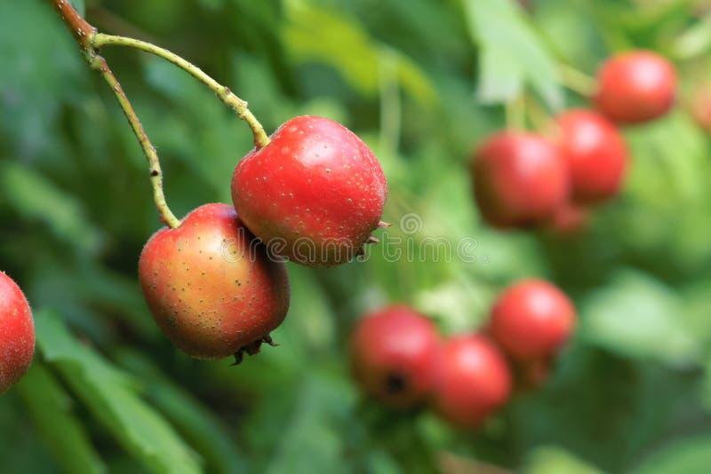 Φρούτα κραταίγου στοκ εικόνα