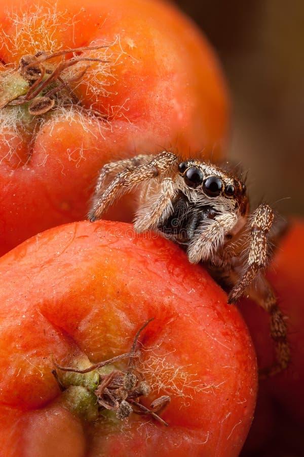 Φρούτα λίγων άλματος αραχνών και σορβιών στοκ φωτογραφία με δικαίωμα ελεύθερης χρήσης