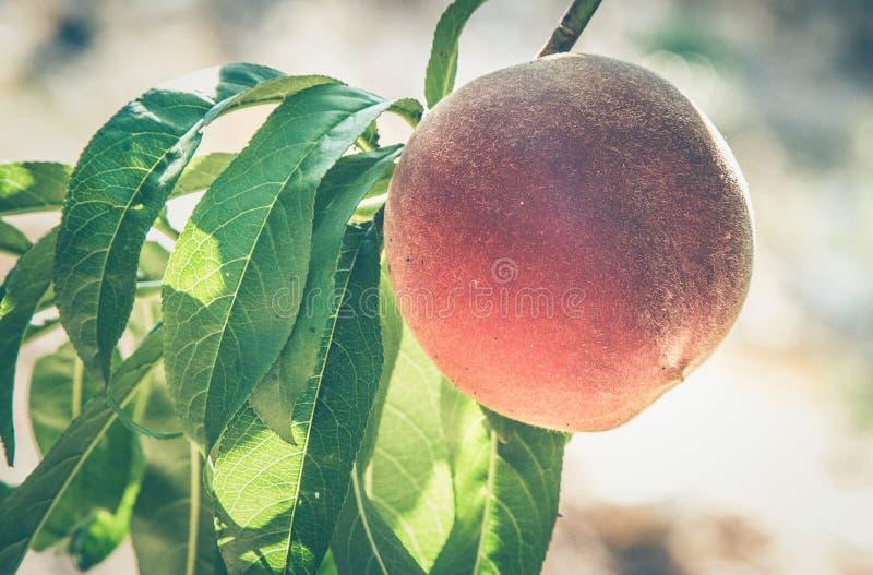 Φρούτα ροδάκινων σε έναν κλάδο στοκ εικόνες