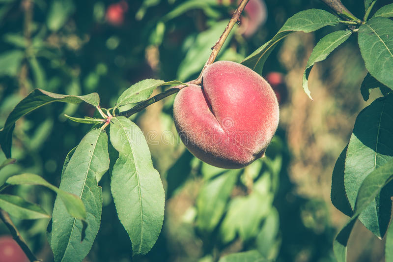 Φρούτα ροδάκινων σε έναν κλάδο στοκ φωτογραφία με δικαίωμα ελεύθερης χρήσης