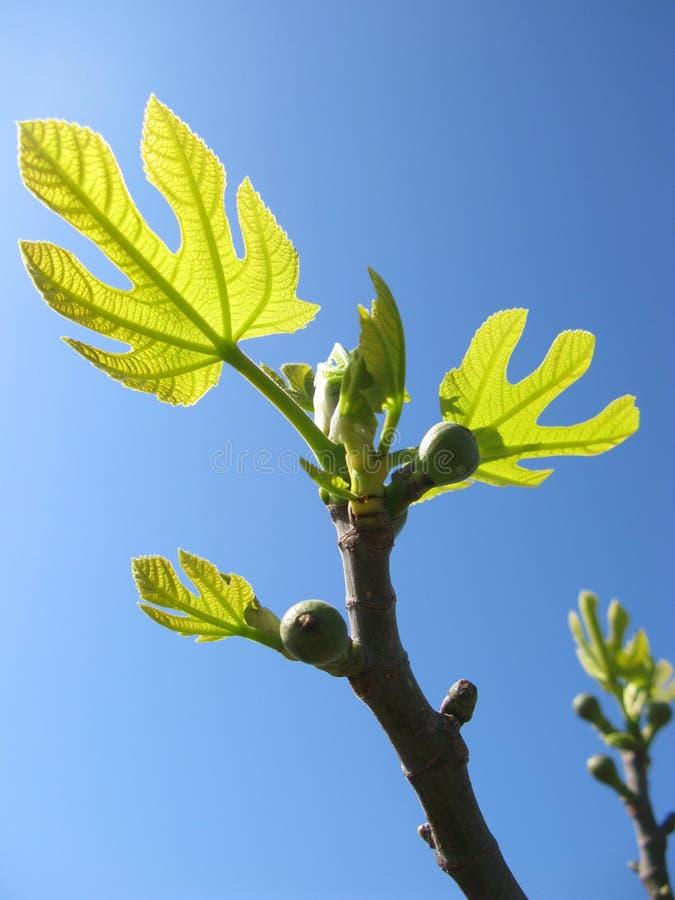 Φρούτα σε ένα δέντρο σύκων στοκ εικόνα με δικαίωμα ελεύθερης χρήσης