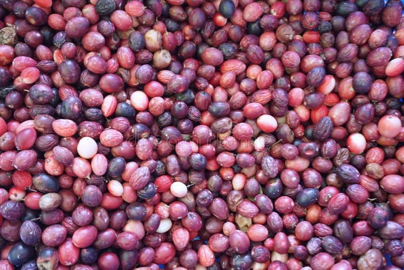 Φρούτα σταφίδων της Βεγγάλης στοκ εικόνες