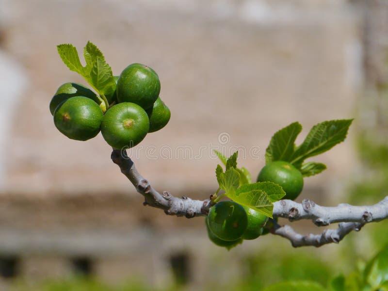 Φρούτα σύκων σε ένα δέντρο απέναντι από έναν μπλε ουρανό στοκ εικόνες