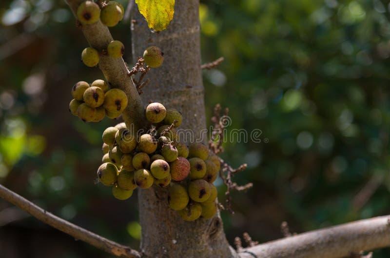 Φρούτα σύκων συστάδων στα δέντρα στοκ φωτογραφίες