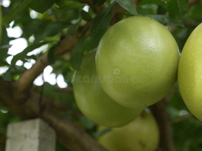 Φρούτα της Ινδίας Calabash έτοιμα να φάνε από το δέντρο σε φωτεινό κόκκινο συνδυασμό κήπων στοκ φωτογραφία με δικαίωμα ελεύθερης χρήσης