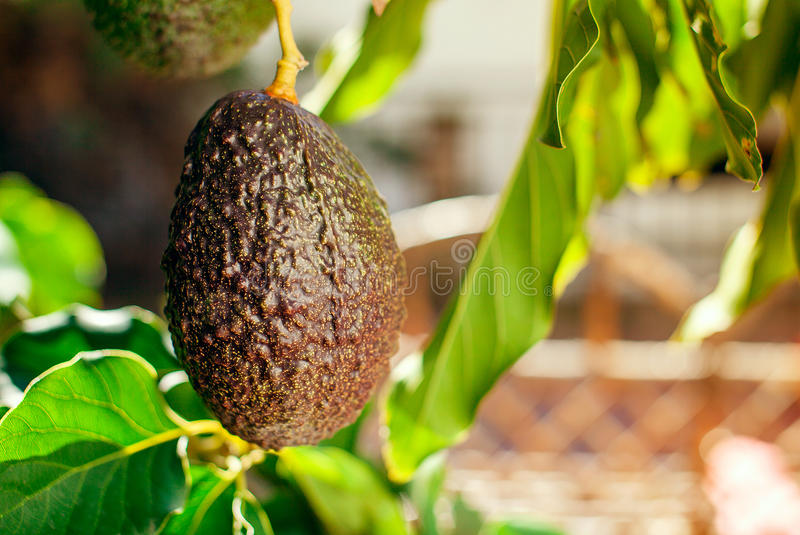 Φρούτα του αβοκάντο στο δέντρο στοκ φωτογραφία με δικαίωμα ελεύθερης χρήσης