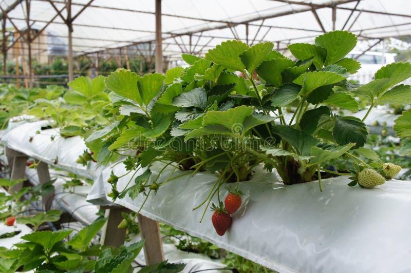 Φρούτα φραουλών στο αγρόκτημα φραουλών Φυτευμένες χρήσεις ένα multi-storey ράφι για να σώσει το διάστημα στοκ εικόνα