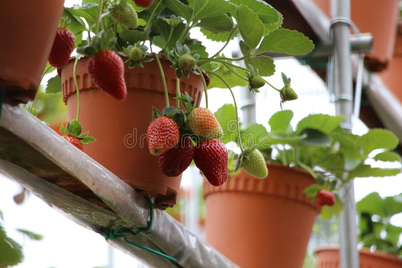 Φρούτα 2 φραουλών στοκ φωτογραφία