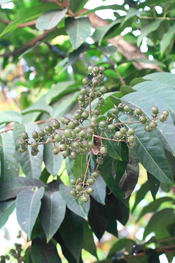 Φρούτα Bungor στοκ εικόνες με δικαίωμα ελεύθερης χρήσης