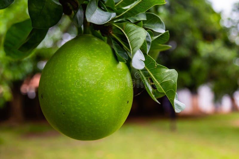 Φρούτα Calabash στο δέντρο στο ekiti φασαρίας στοκ εικόνες