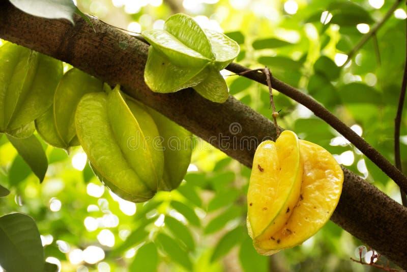 Φρούτα carambola Averrhoa ή φρούτα αστεριών στον κλάδο δέντρων στον κήπο οπωρώνων στοκ φωτογραφία με δικαίωμα ελεύθερης χρήσης