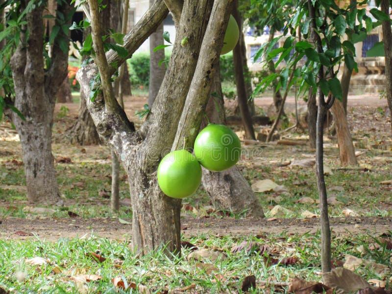 Φρούτα Crescentia cujete στο δέντρο Calabash στοκ φωτογραφία