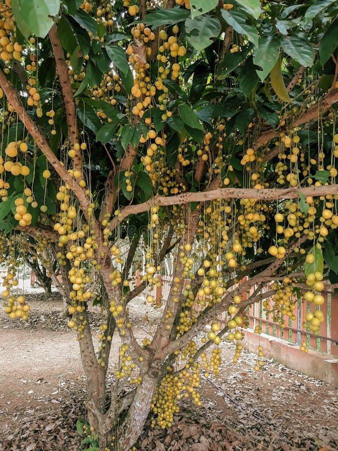 Φρούτα Longan στο δέντρο στην Ταϊλάνδη στοκ φωτογραφία με δικαίωμα ελεύθερης χρήσης