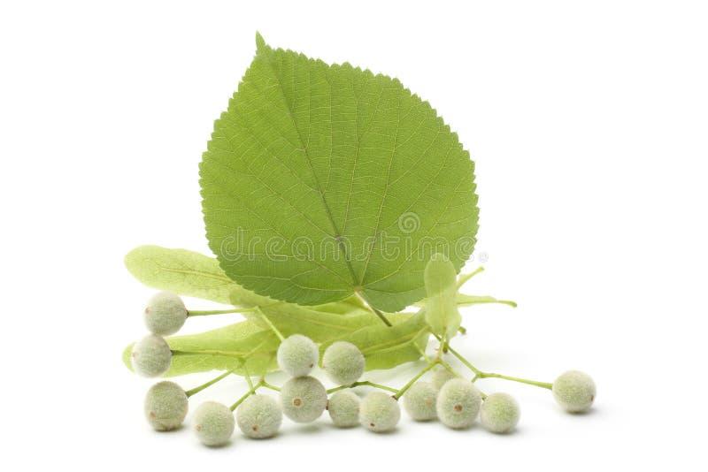 Φρούτα Tilia με το πράσινο φύλλο στοκ φωτογραφία με δικαίωμα ελεύθερης χρήσης
