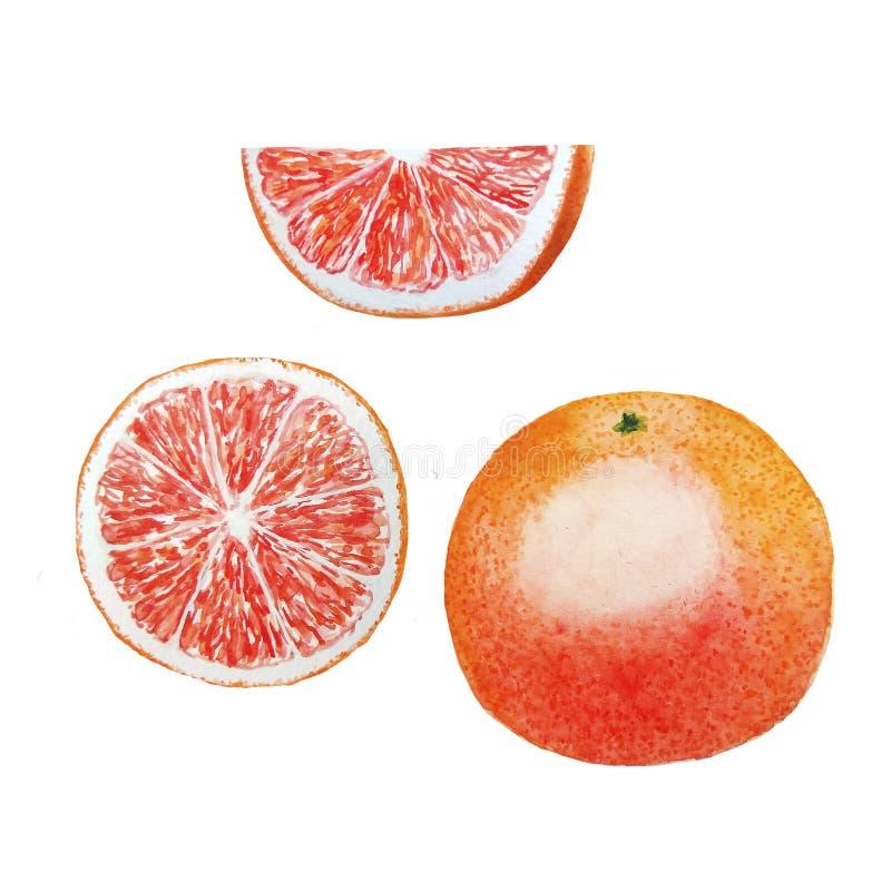 Φρούτα Watercolor γκρέιπφρουτ διανυσματική απεικόνιση